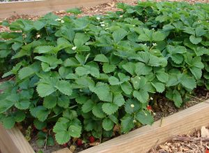 Strawberries in the Community Garden at Kirk of Kildaire Presbyterian Church Cary NC